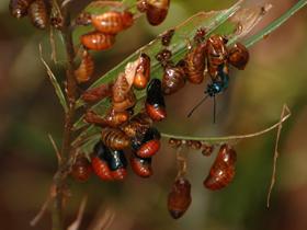 Atala larvae & pupae