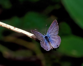 Miami Blue dorsal
