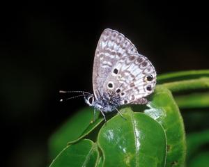 Miami Blue ventral